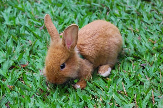 hnědý králíček